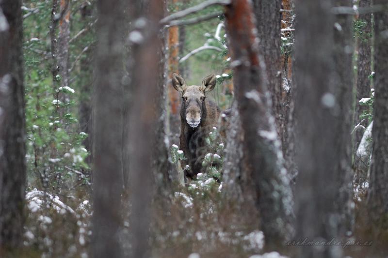 Talvises metsas