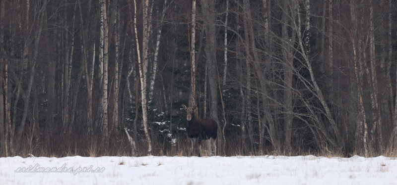 Põder metsa taustal
