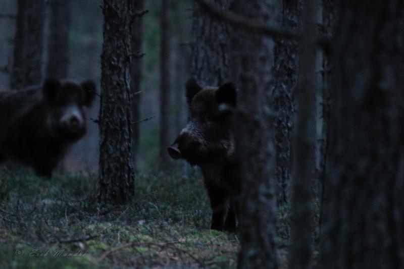 Õhtupimedas metsas