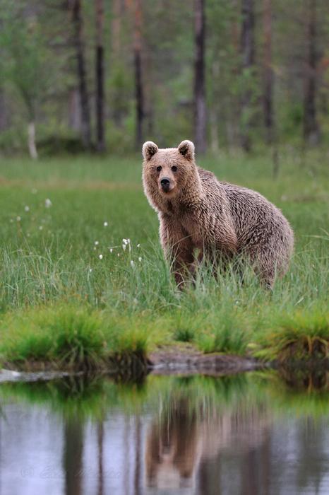 Karu ja peegeldus