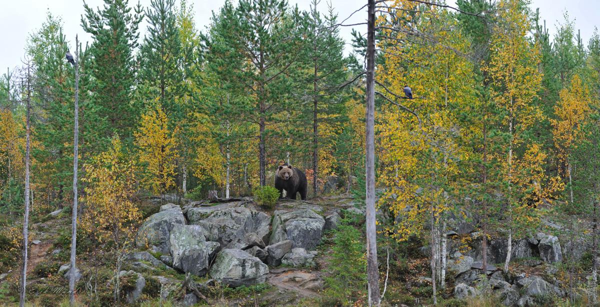 Põhjamaa metsade valitseja