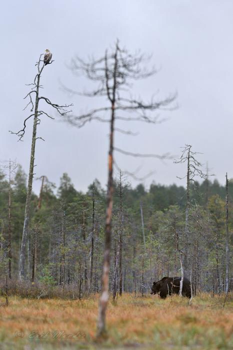 Karu ja kotkas