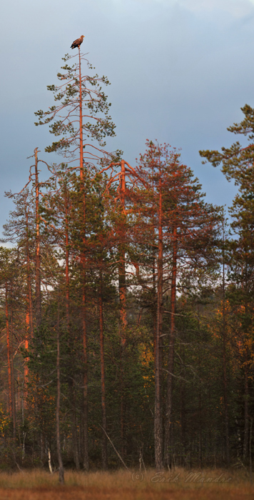 Merikotkas puul