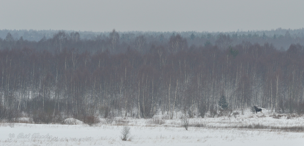 Põder metsatuka ääres