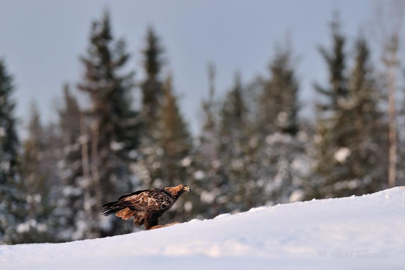 Kaljukotkas lumel