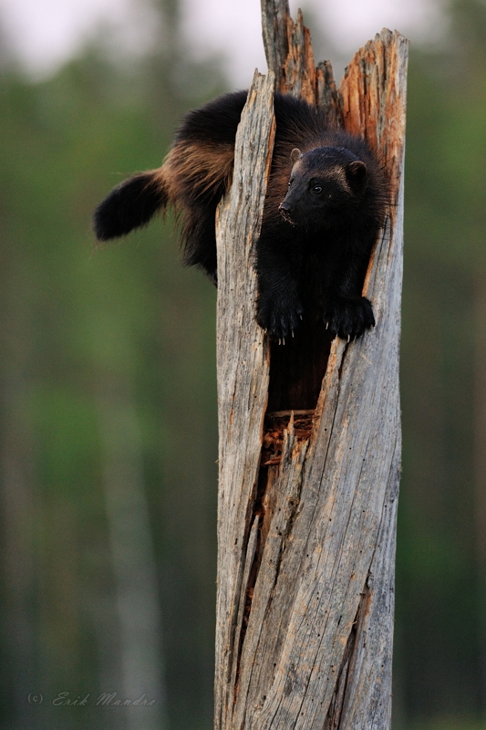 Ahm, wolverine
