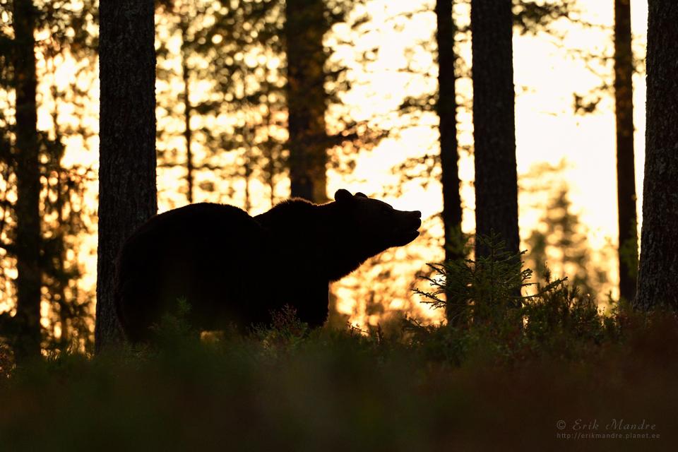 Karu hilisõhtuses metsas