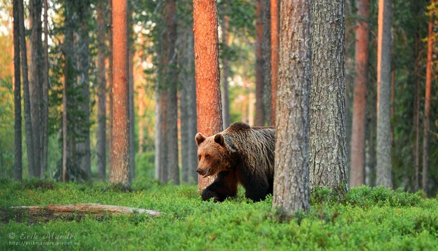 Loojangu aeg metsas