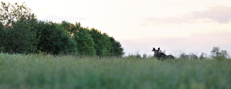 Põder suveõhtuses miljöös
