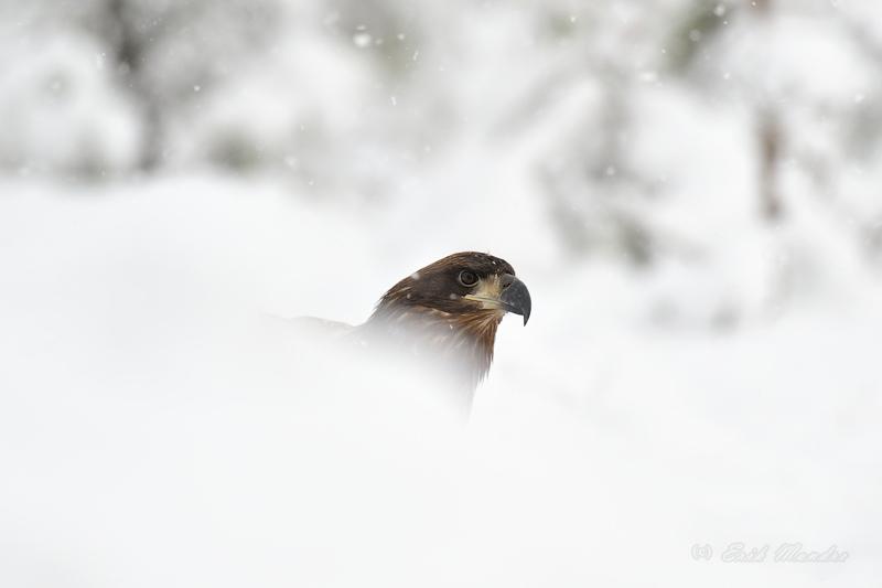 Merikotkas lumises miljöös