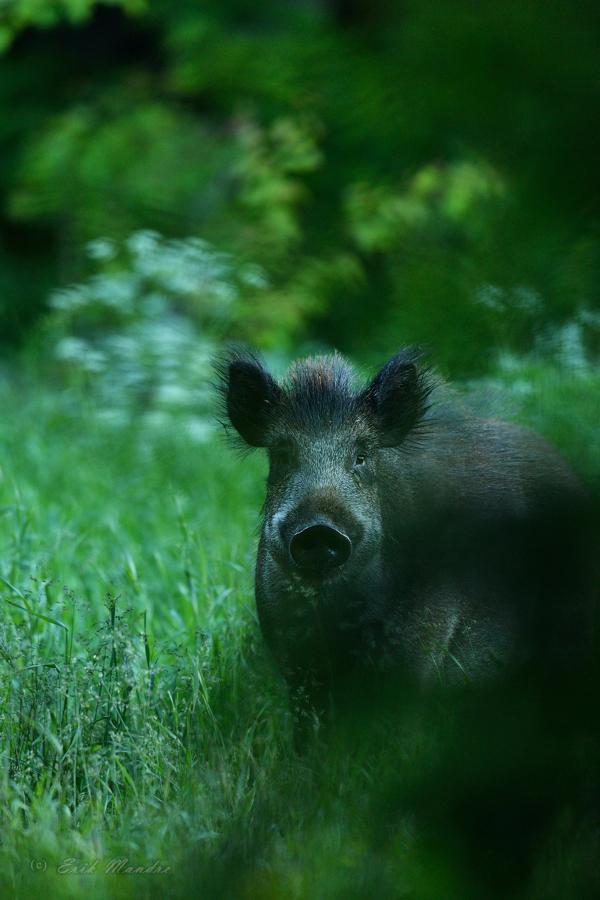 Metssiga - hämarate aegade loom