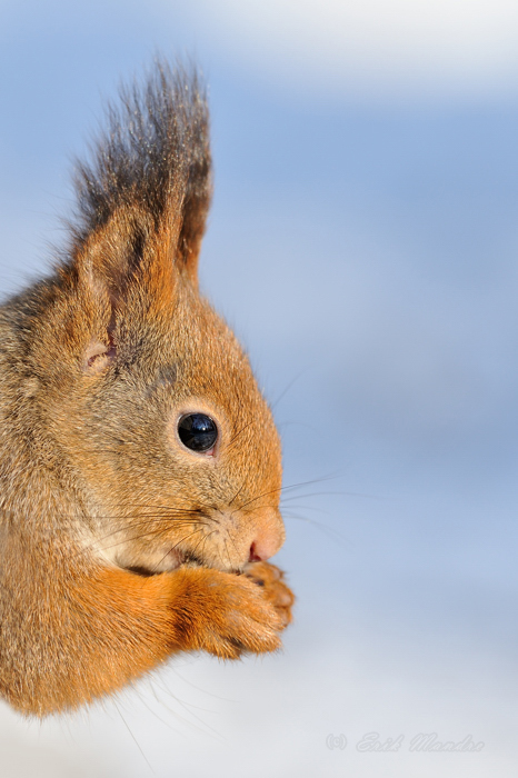 Orava portree