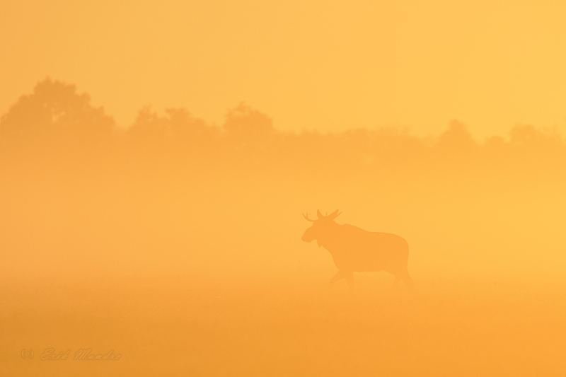 Põdrapull päikesetõusul