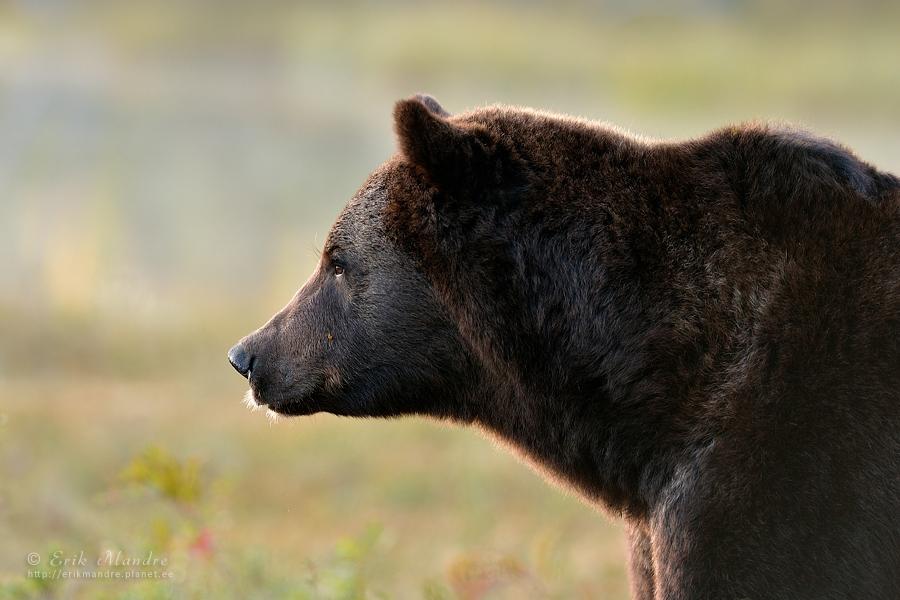 Mõtisklev karu