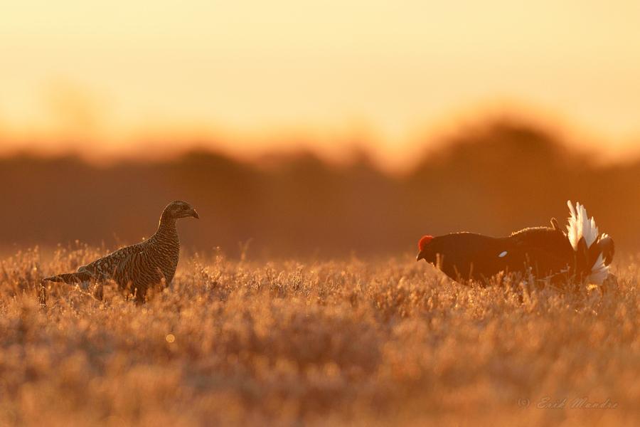 Kana ja kukk
