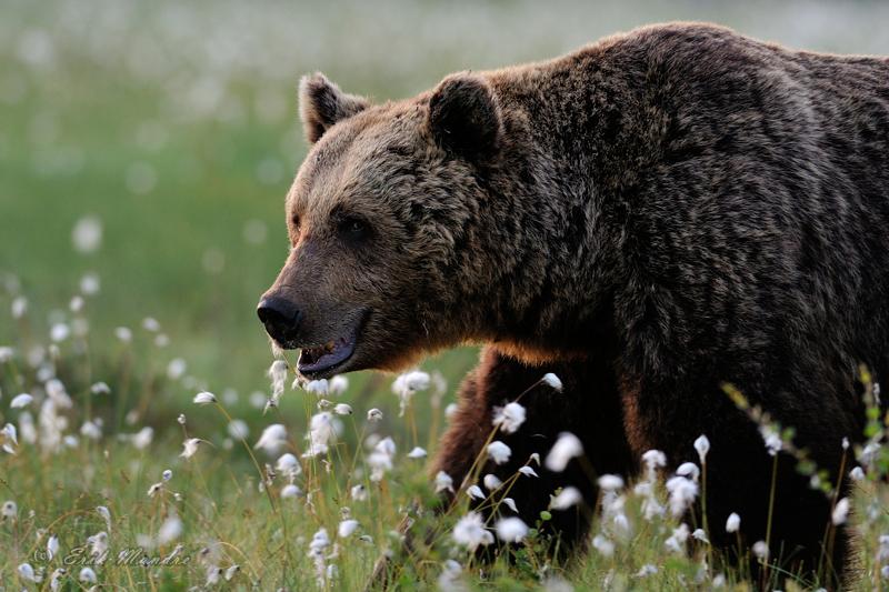 Karu õitemeres