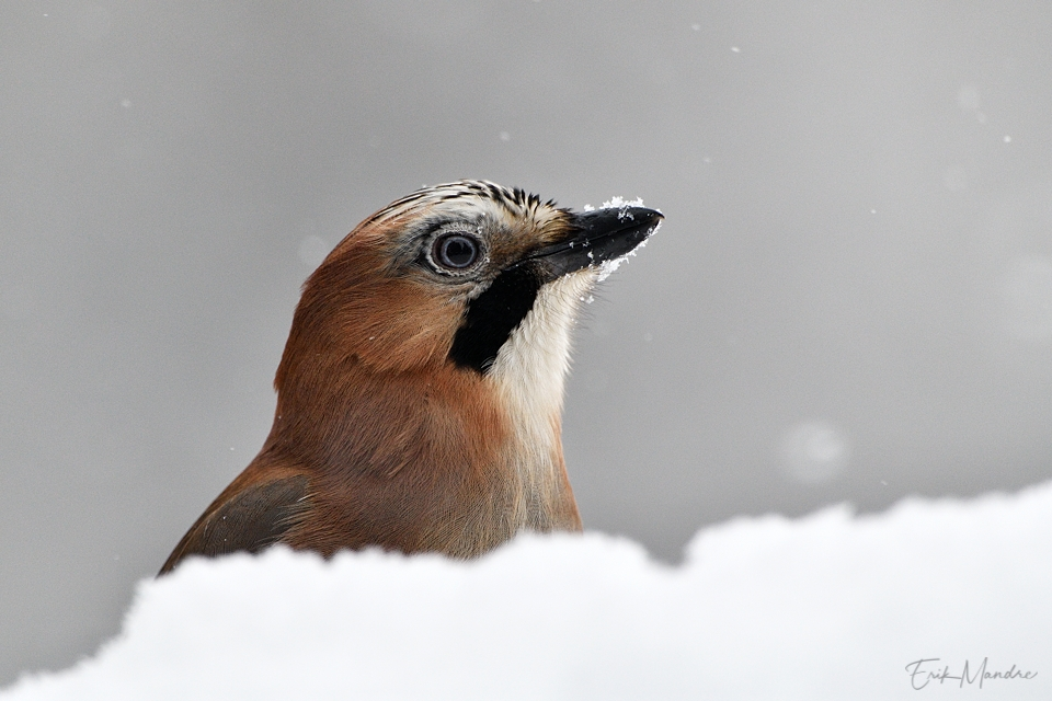 Pasknääri talvine portree