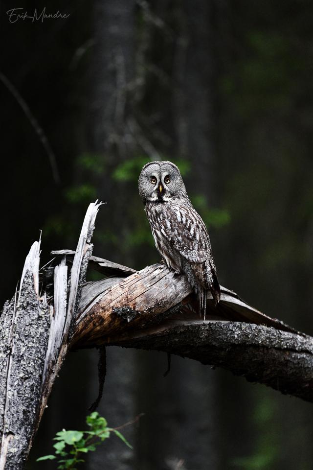 Habekakk õhtuses metsas