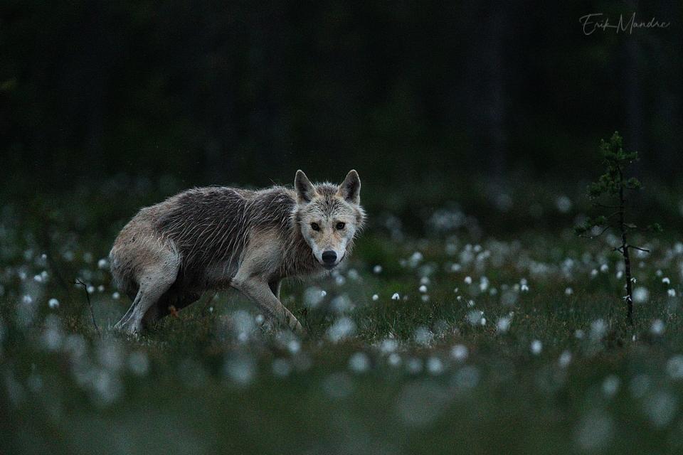 Salapärane loom öises rabas
