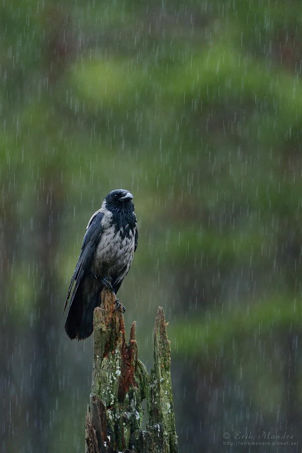 Hallvares vihmas