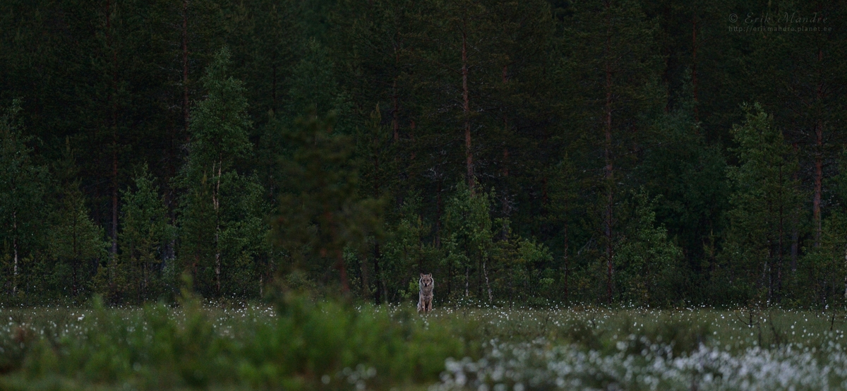 Metsavalvur