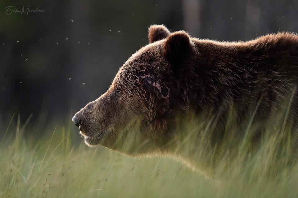 Arminäoga karu portree