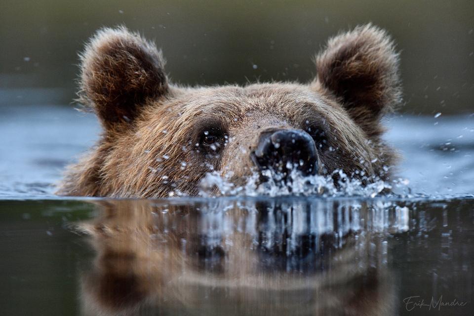 Ujuva karu portree