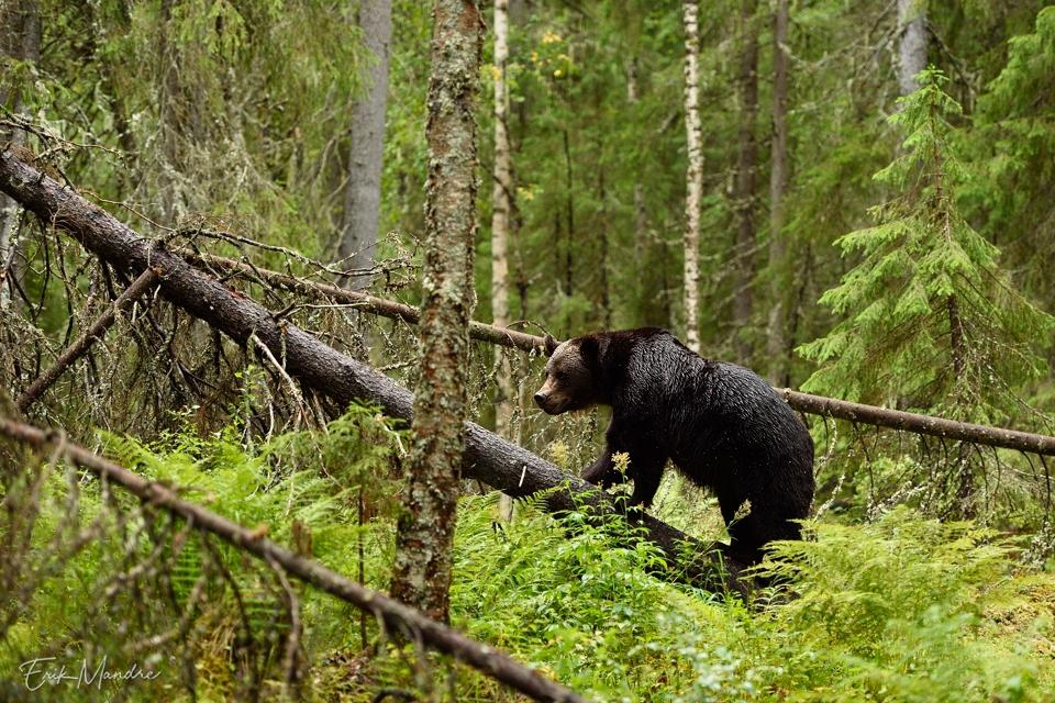 Karu ürgses metsas