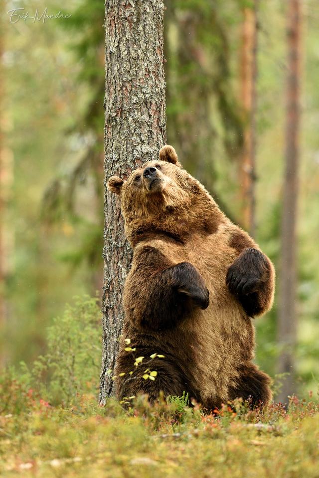 Karu oskab lugu pidada puust ja metsa võlust