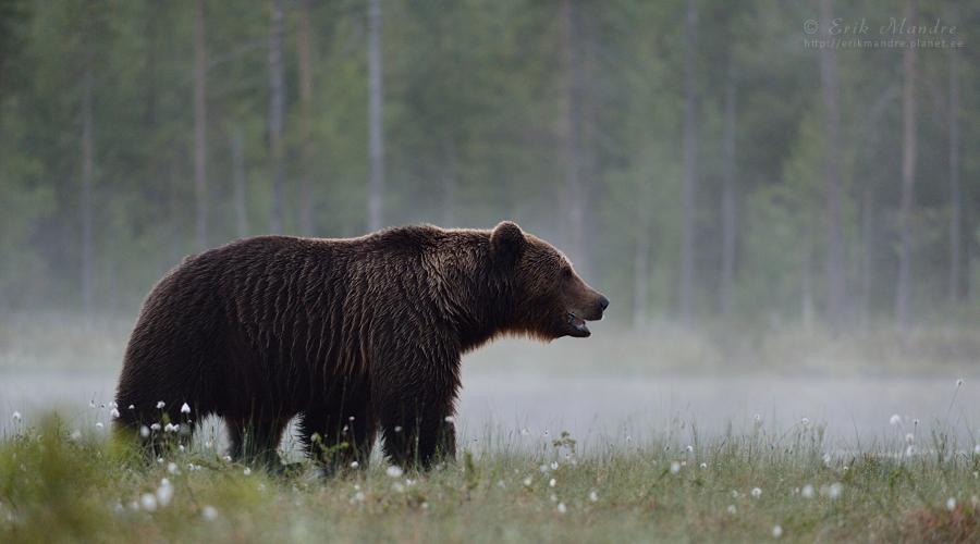 Karu - taiga kuningas
