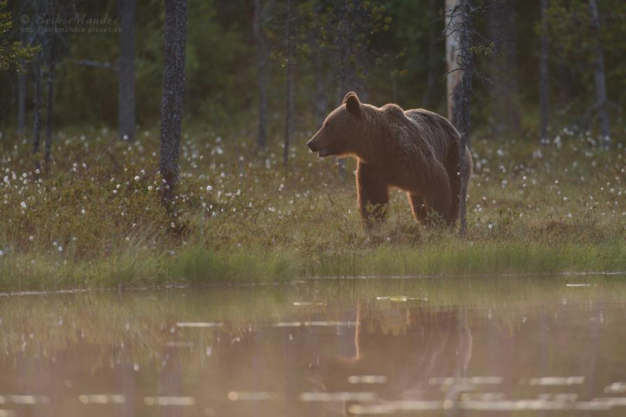 Karu loojanguvalguses
