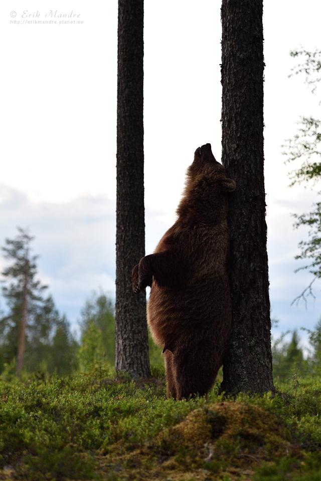 Karu stiilinäide selja sügamisest