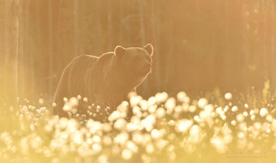Vana isakaru õhtupäikese poolt kullatud õitemeres