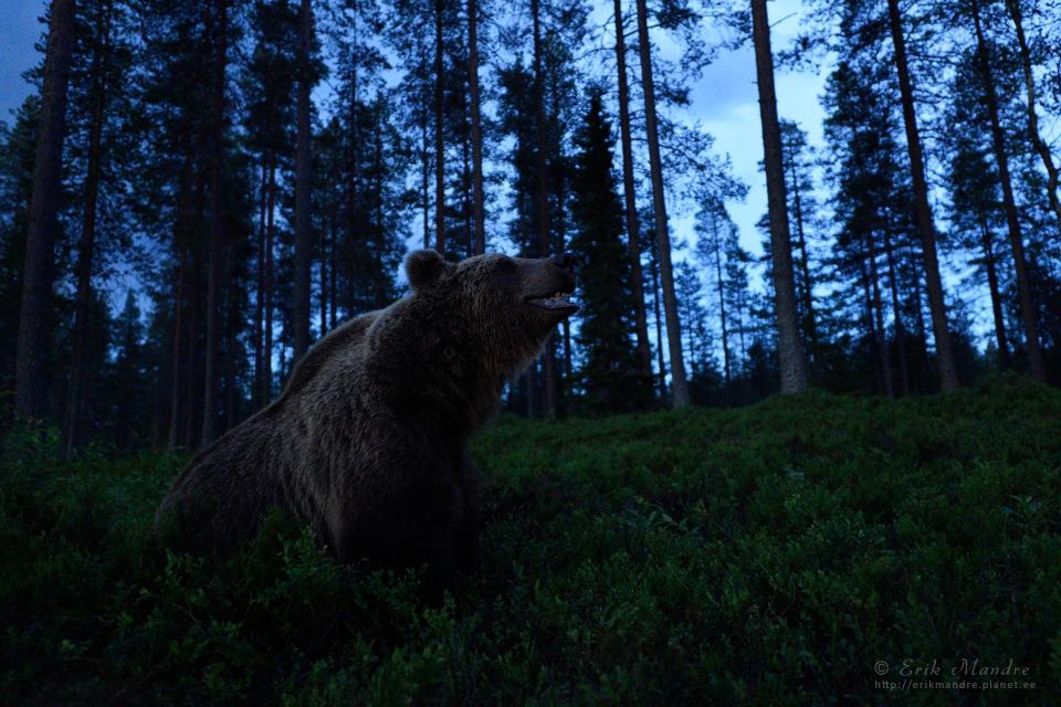 Karu ööpimedas metsas
