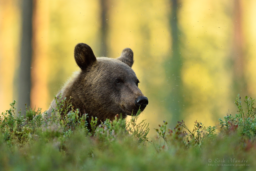 Karu portree metsas