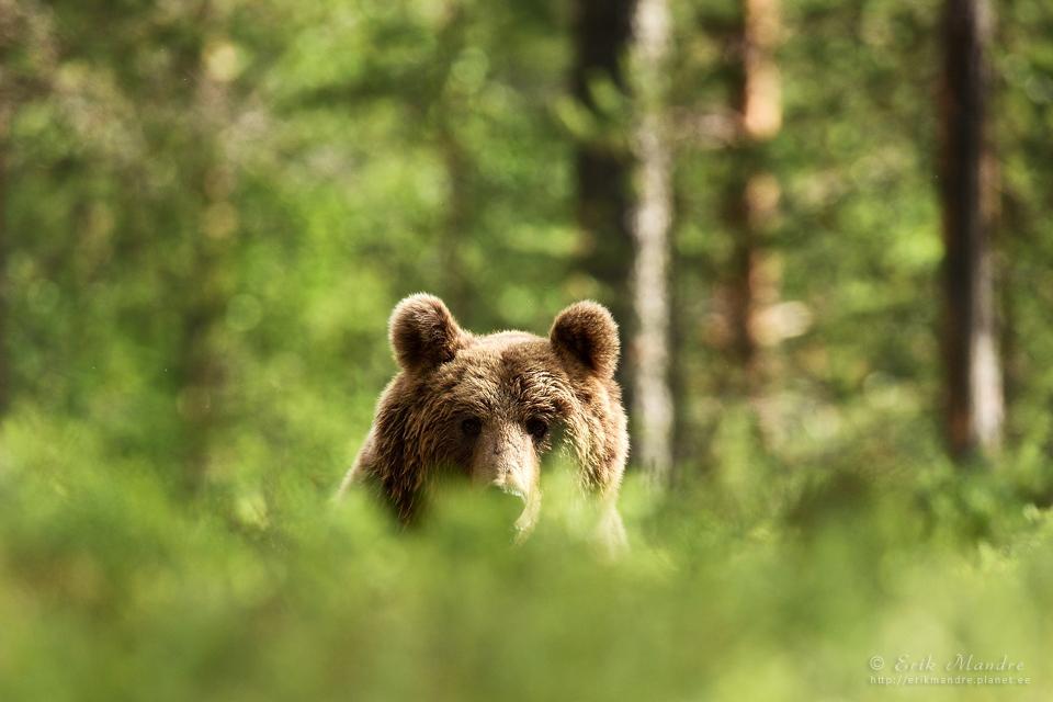 Karu piilub