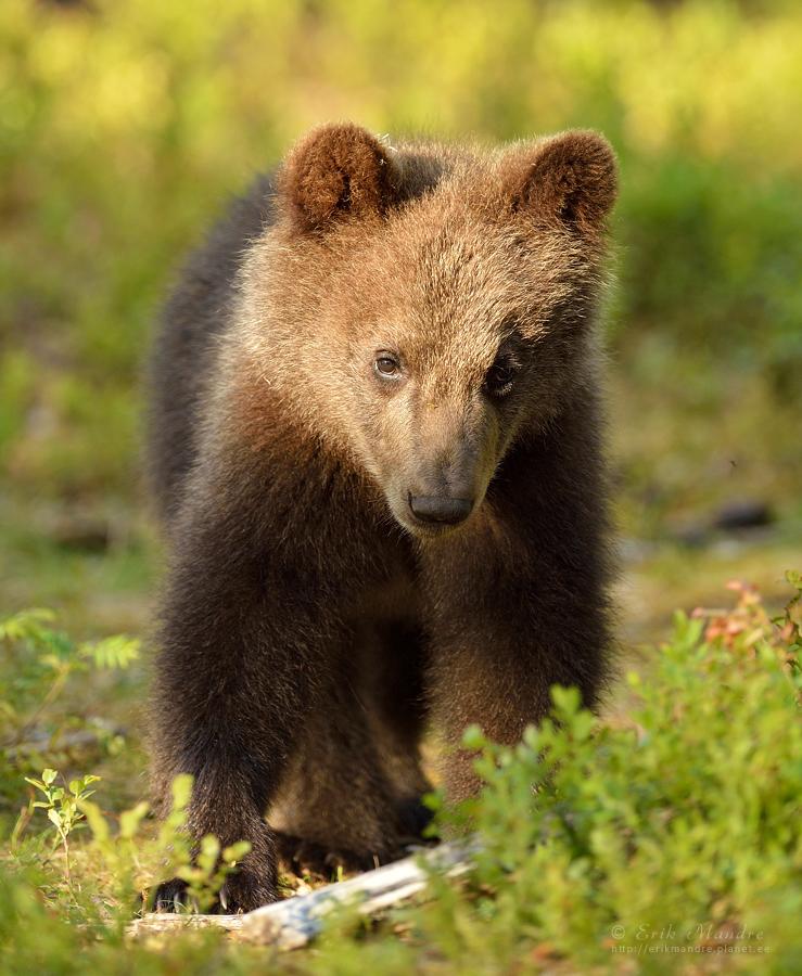 Karujõmpsikas metsas
