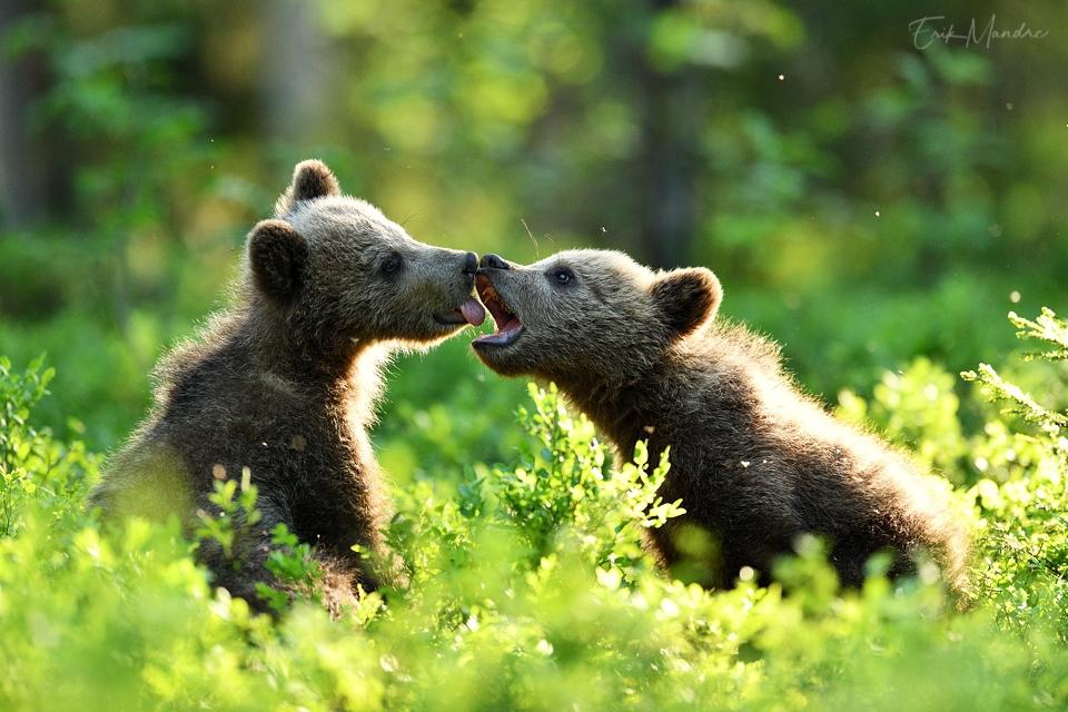 Karupojad suvises metsas