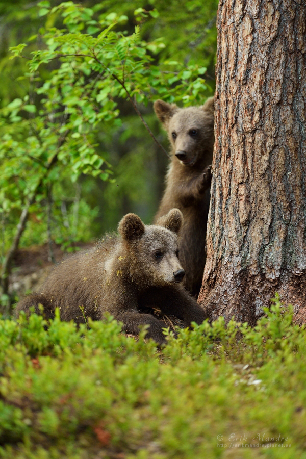 Karupojad metsas