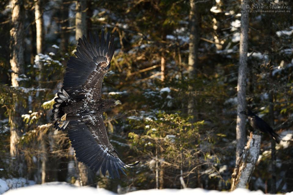 Merikotka lend metsa taustal