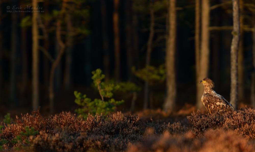 Merikotkas õhtuse metsa taustal