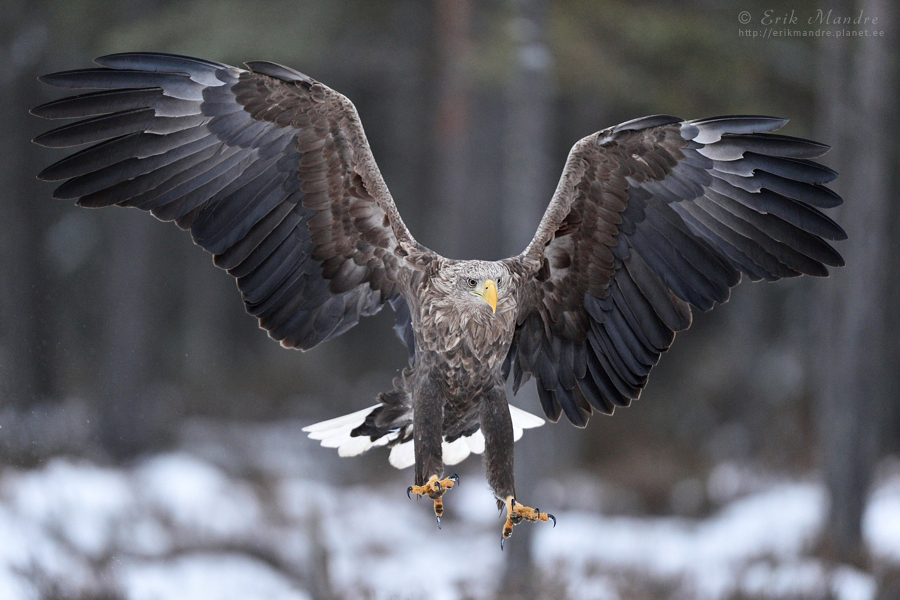 Merikotkas, White-tailed eagle