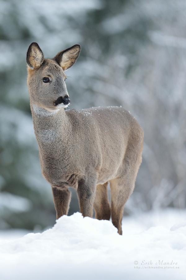 Metskits talvises keskkonnas