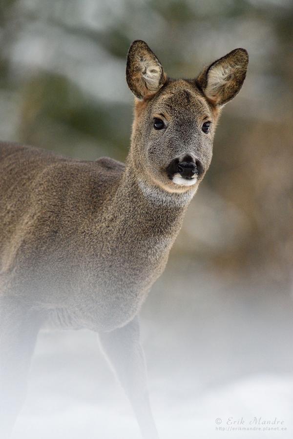 Metskits, Roe deer (Capreolus capreolus)