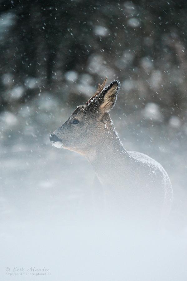 Metskits lumetuisus