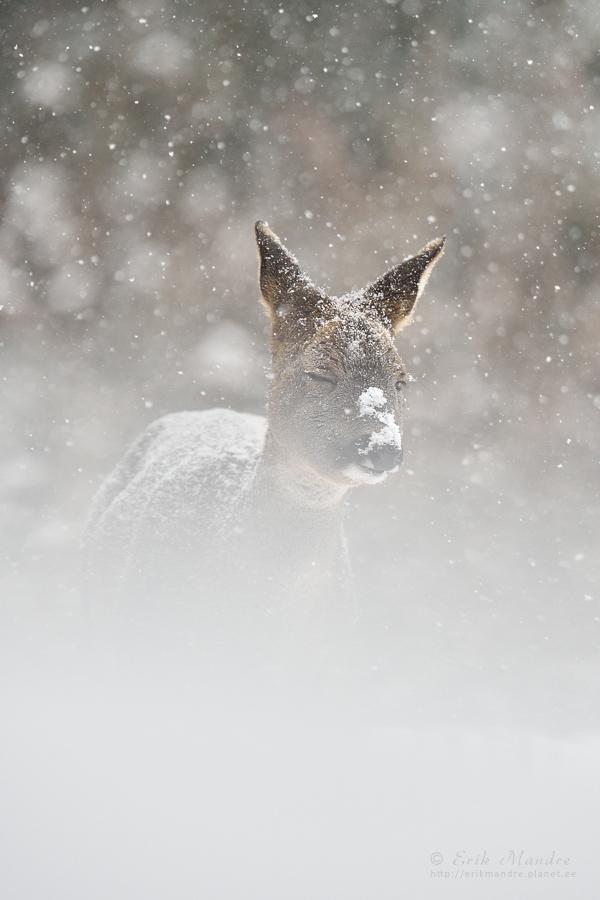 Lumetuisku trotsides