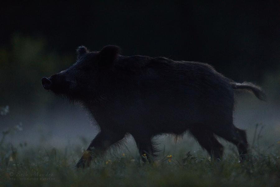 Kult öisel metsaniidul