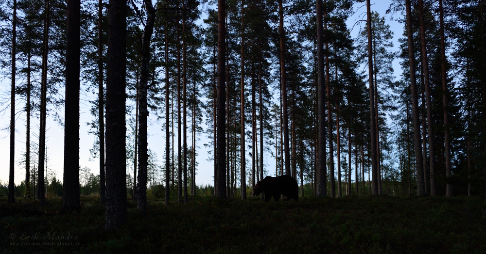 Pruunkaru hilisõhtuses metsas