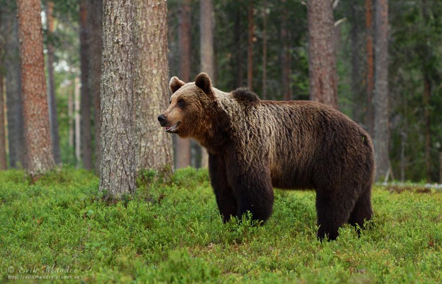 Karu õhtuses metsas