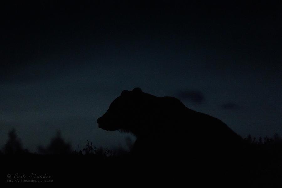 Öine siluett puhkavast karust
